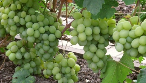 Виноград сорт Талисман