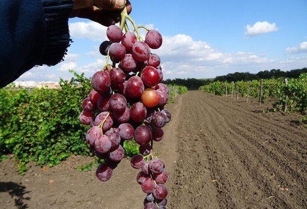 Виноград сорт Юбилей Журавля