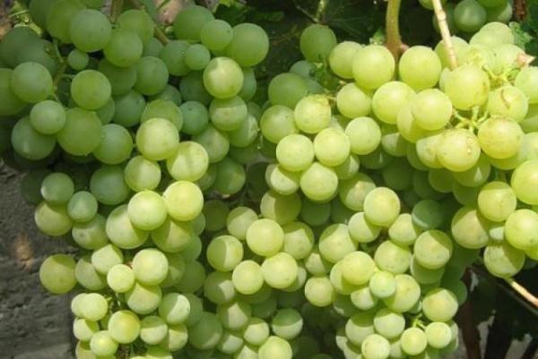 Ранний сорт винограда Жемчуг Саба