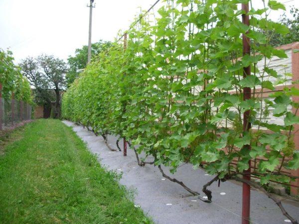 Выращивание винограда на шпалере