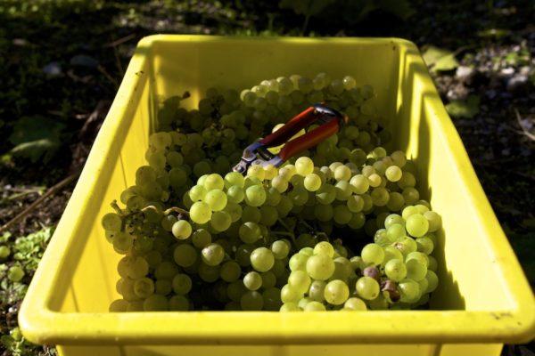 Сбор винограда обязательно должен проводиться в солнечную погоду