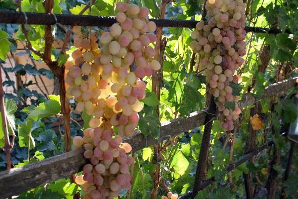 Виноград сорта Тайфи позднего срока созревания