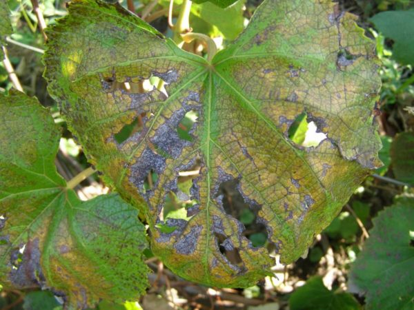 альтернариоз на листьях винограда