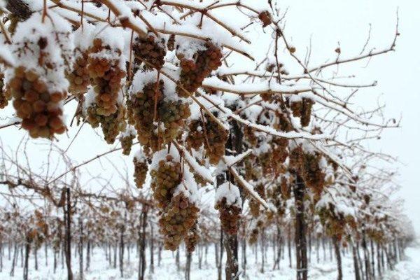 Некоторые морозостойкие виноградники способны переносить температуру до -27–29°С