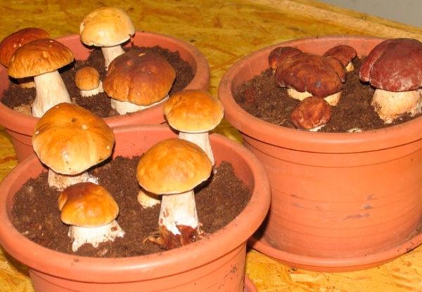 В погребе грибы можно выращивать даже в цветочных горшках