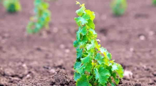 Пересаженная молодая лоза винограда в открытый грунт