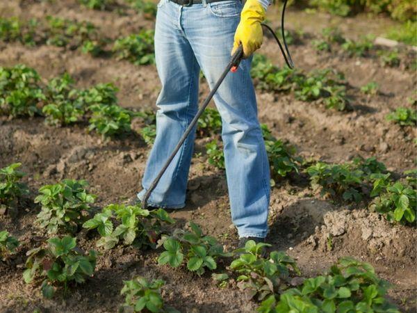 Подкормка клубники борной кислотой увеличивает сопротивляемость болезням и вредителям