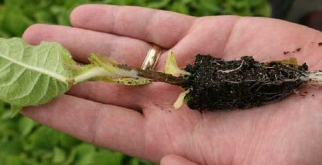 Черная ножка на рассаде томатов