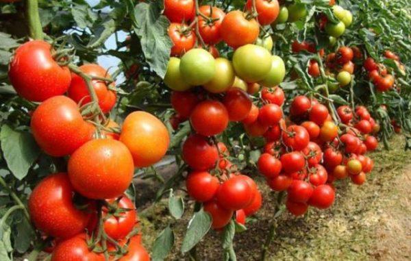 Повышенная урожайность томатов удобренных сульфатом калия