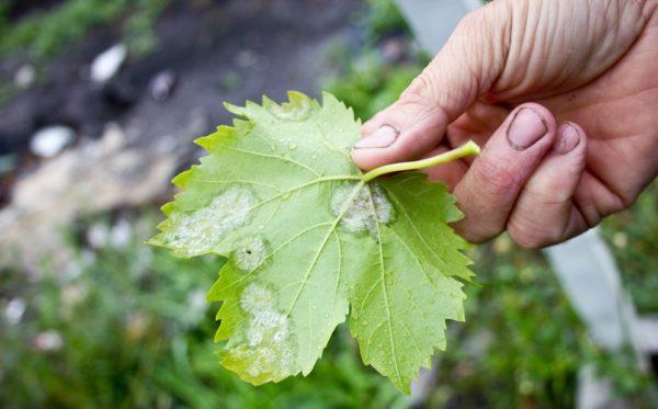 Лист винограда, пораженный мучнистой росой