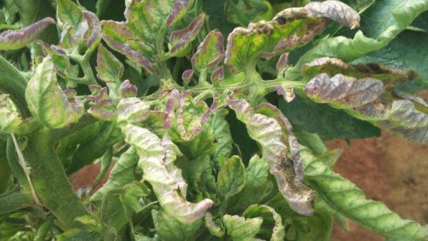 Запущенный фитофтороз на помидорах