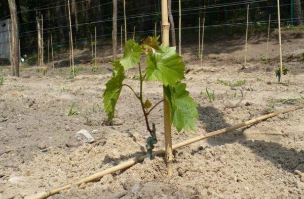 Саженец винограда столетие