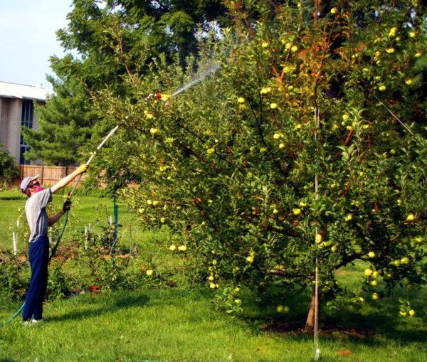 Сроки обработки плодовых деревьев