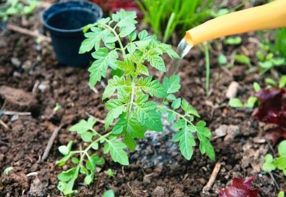 Для улучшения роста поливать томаты можно с удобрительными смесями