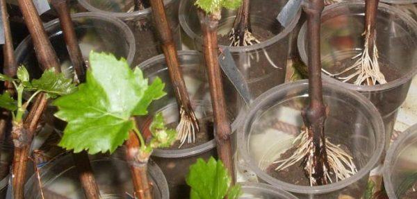 Укоренившийся виноград, готовый к посадке