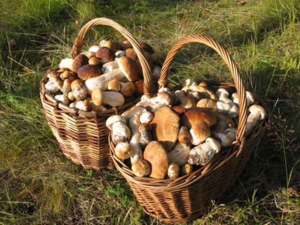 При выращивании белых грибов из мицелия можно собрать внушительный урожай