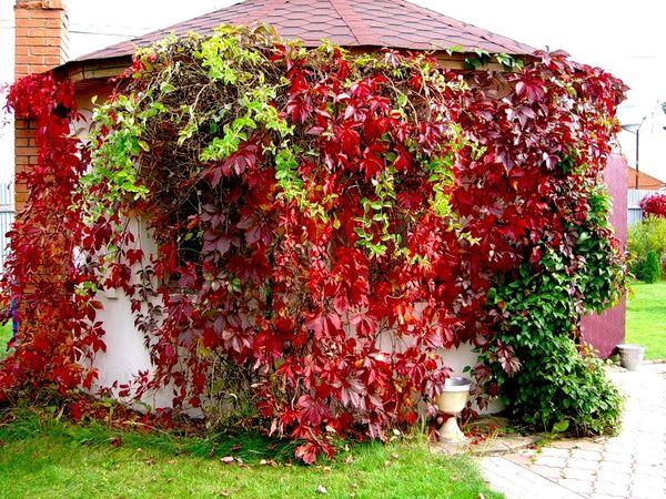 Девичий виноград в качестве украшения беседки