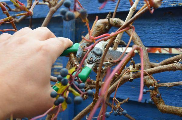 Своевременная обрезка - один из главных элементов ухода за диким виноградом