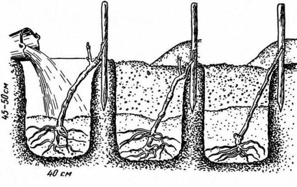 Схема посадки винограда в открытый грунт