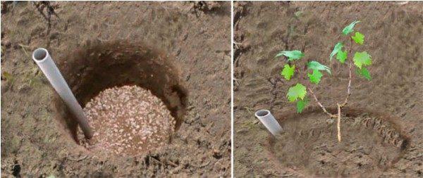 Подготовка ямы и посадка винограда Тайфи