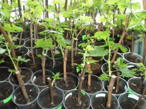 Для размножения винограда Велес лучше всего использовать саженцы