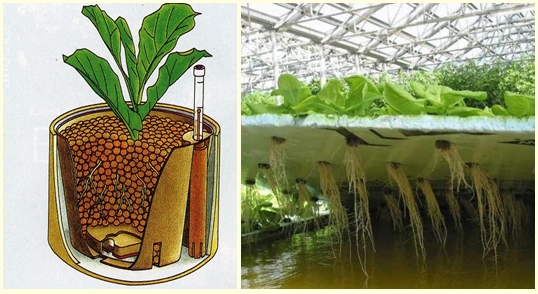 Корневая система растений при выращивание методом гидропоника