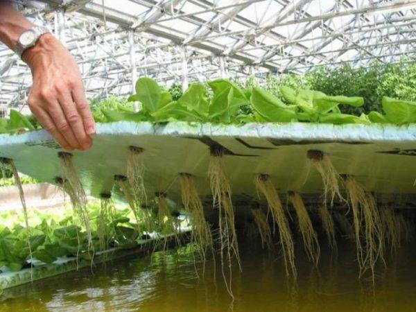 Раствор для выращивания растений методом гидропоника