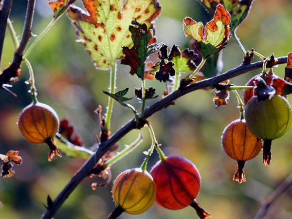 Осенью крыжовнику необходим предзимний уход
