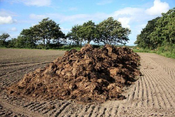 Коровяк – натуральное органическое удобрение, полученное в результате отходов жизнедеятельности крупных животных