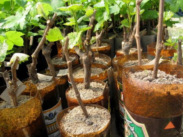 Укоренение винограда в опилках