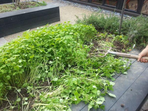 сидераты на огороде
