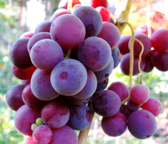 Ягоды винограда кардинал крупным планом