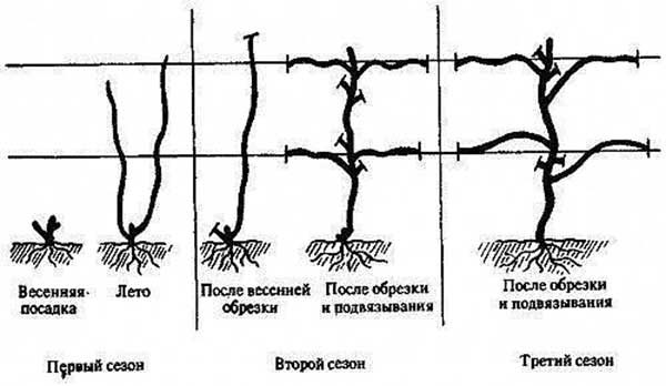 Схема обрезки винограда по методу гюйо