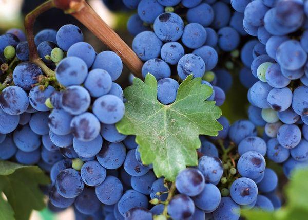 Виноград Изабелла способен развиваться практически на любых почвах