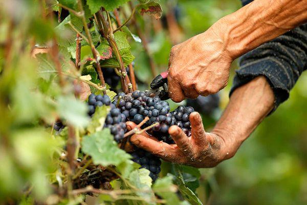Сбор винограда важно произвести до первых заморозков