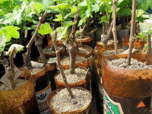 Проращивание черенков винограда Анюта