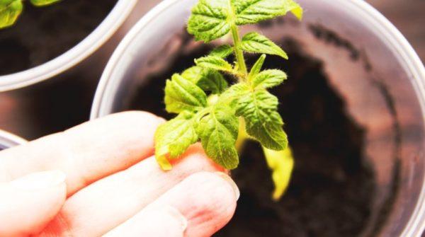 Пожелтевшие листья томатов крупным планом