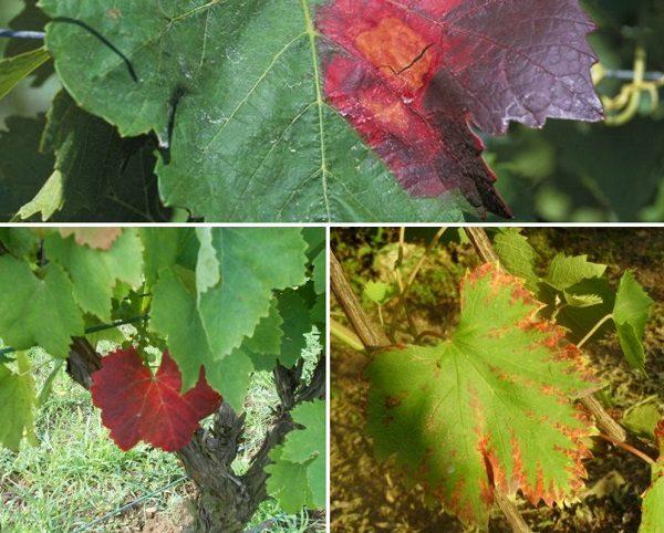 Варианты краснухи листьев винограда