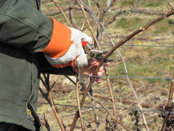 Осенняя обрезка виноградника