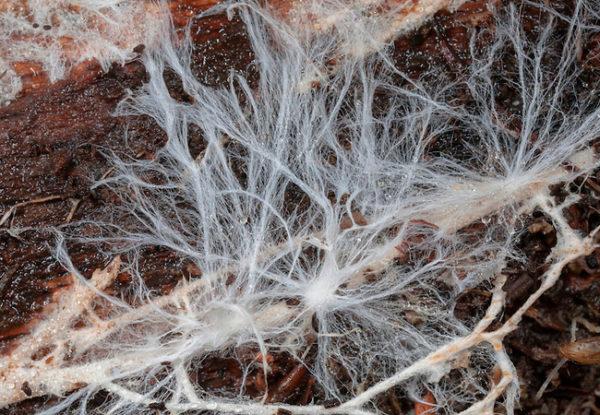 Грибной мицелий