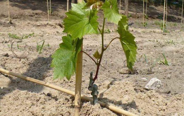 Для размножения винограда без косточек используются вегетативные способы, включая использование отводков и черенков