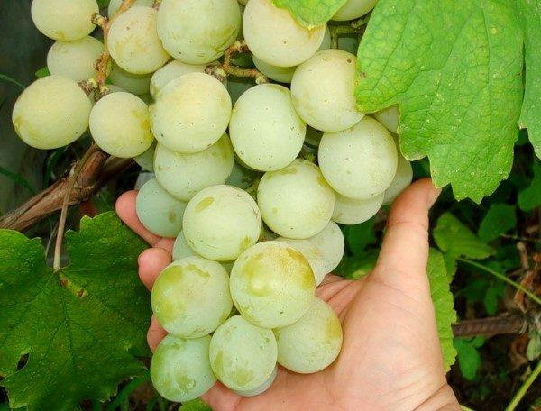 Гроздь винограда кеша крупным планом