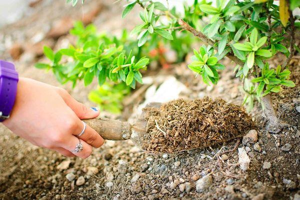 Практически все садовые посадки благоприятно отзываются на внесение навоза