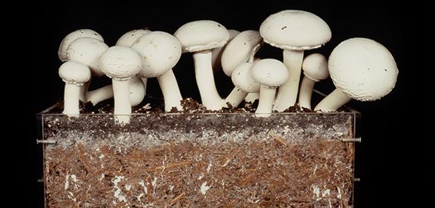 Шампиньоны на компосте