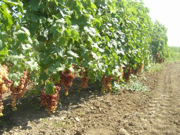 Спелые грозди преображения