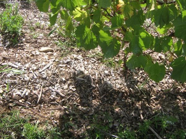 В засушливый период нижнюю часть ствола винограда нужно мульчировать