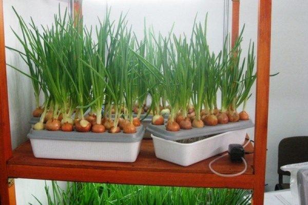 Гидропоника для зелени стала популярна в нашей стране относительно недавно