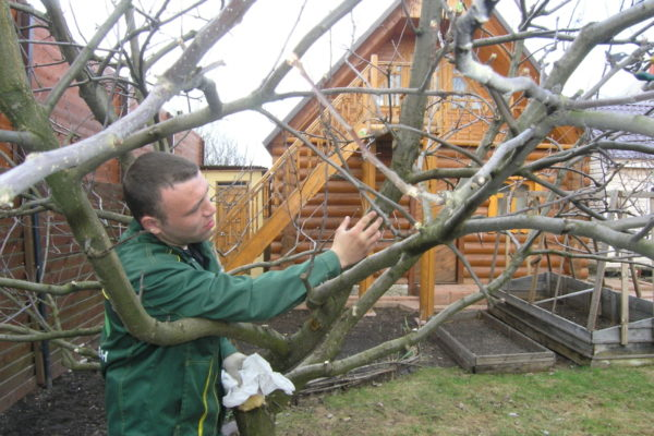Фосфорные удобрения укрепляют деревья