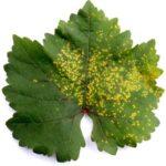 листовой клещ