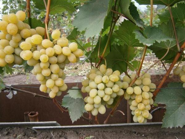 Виноград Августин или Плевен